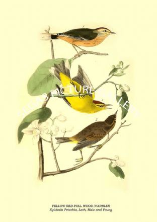 YELLOW RED-POLL WOOD-WARBLER - Sylvicola Petechia, Lath, Male and Young